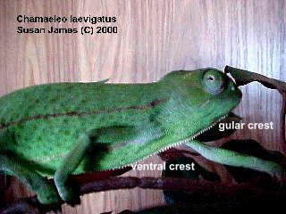glossary-vental crest